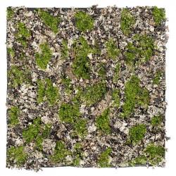 Mossplatta med ägta finlav, 50x50cm