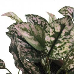 Rosenstänk - Hypoestes i kruka 25 cm, konstgjord växt